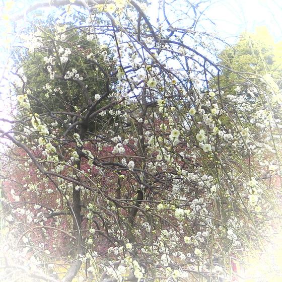 しだれ梅と椿まつり - 05.jpg