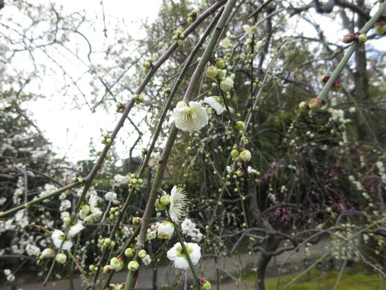 しだれ梅と椿まつり - 06.jpg