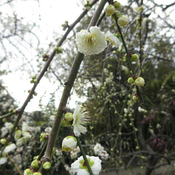 しだれ梅と椿まつり - 07.jpg