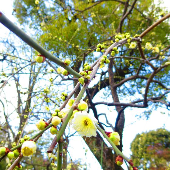 しだれ梅と椿まつり - 08.jpg