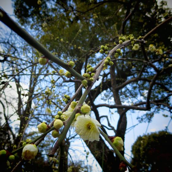 しだれ梅と椿まつり - 09.jpg