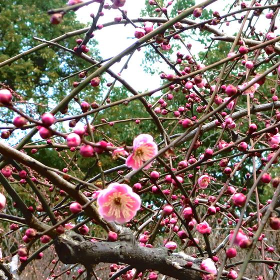 しだれ梅と椿まつり - 10.jpg