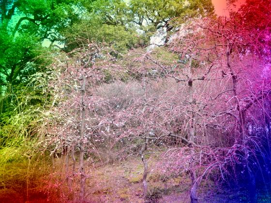 しだれ梅と椿まつり - 11.jpg