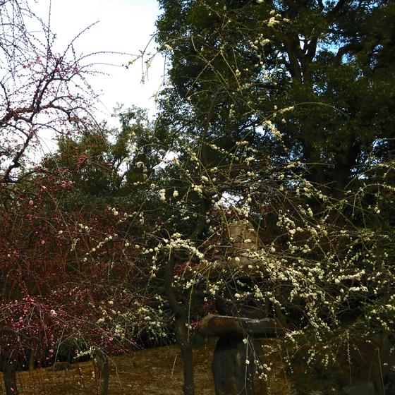 しだれ梅と椿まつり - 12.jpg