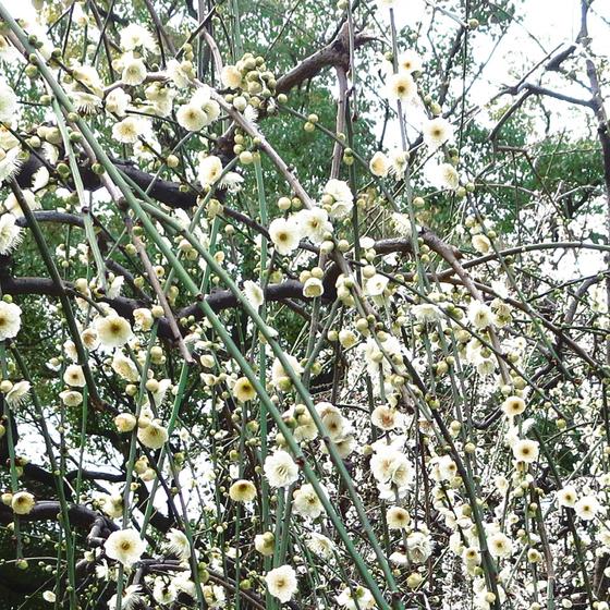 しだれ梅と椿まつり - 14.jpg