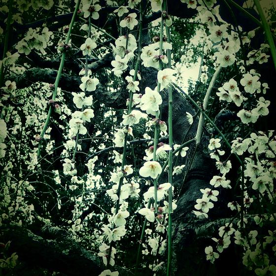 しだれ梅と椿まつり - 15.jpg