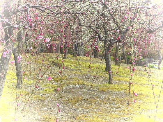 しだれ梅と椿まつり - 16.jpg