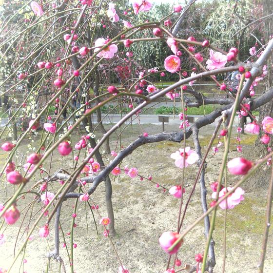 しだれ梅と椿まつり - 17.jpg