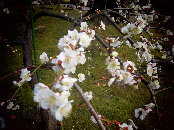 しだれ梅と椿まつり - 19.jpg