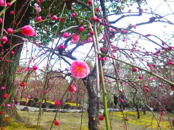 しだれ梅と椿まつり - 20.jpg