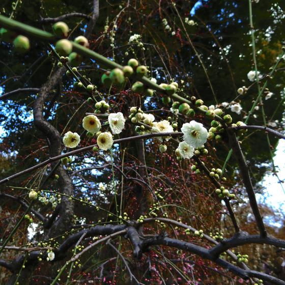 しだれ梅と椿まつり - 21.jpg