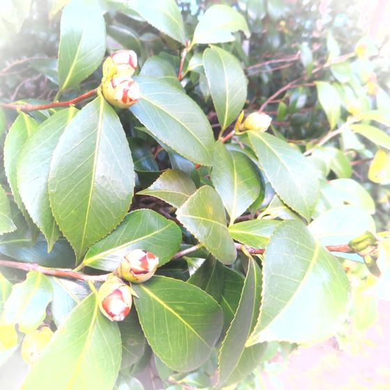 しだれ梅と椿まつり - 27.jpg