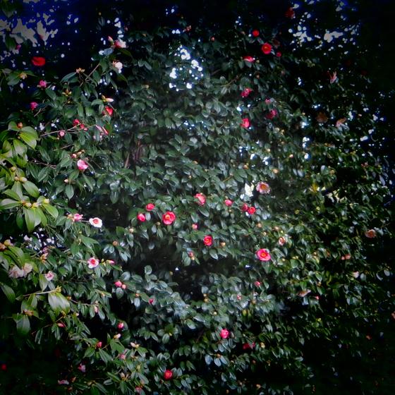 しだれ梅と椿まつり - 29.jpg