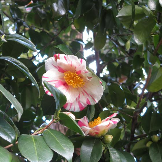 しだれ梅と椿まつり - 31.jpg