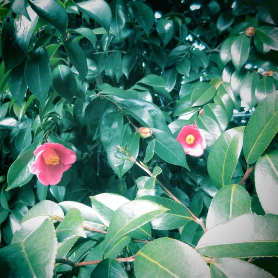 しだれ梅と椿まつり - 32.jpg