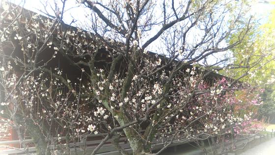 しだれ梅と椿まつり - 33.jpg
